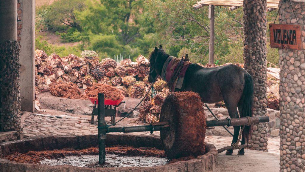 Carlos Moreno Koch animal milling agave
