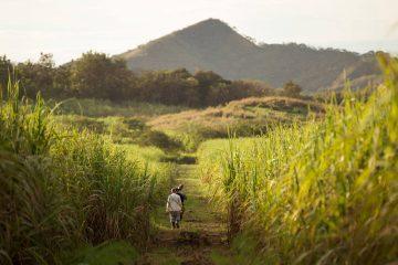Rum sugarcane fields - the three rum revolutions