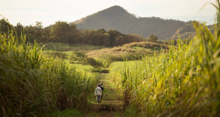 Rum sugarcane fields - the three rum revolutions
