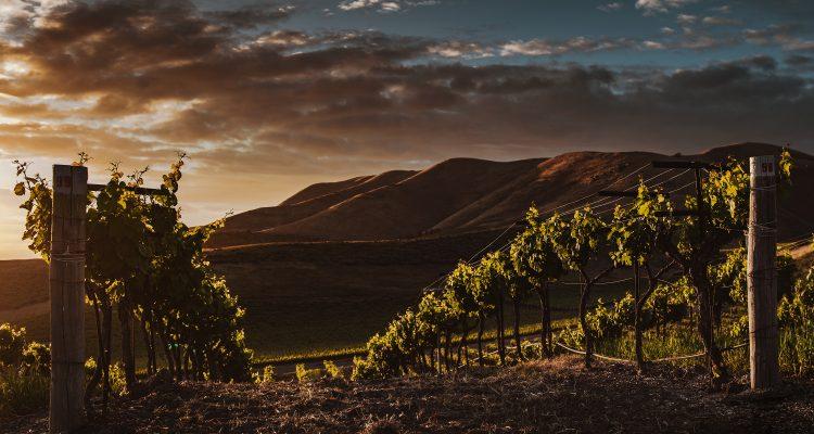 california wine smoke taint